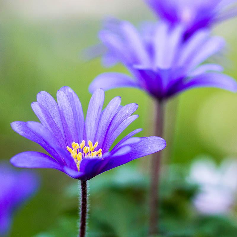 Anemone blanda blue blog image