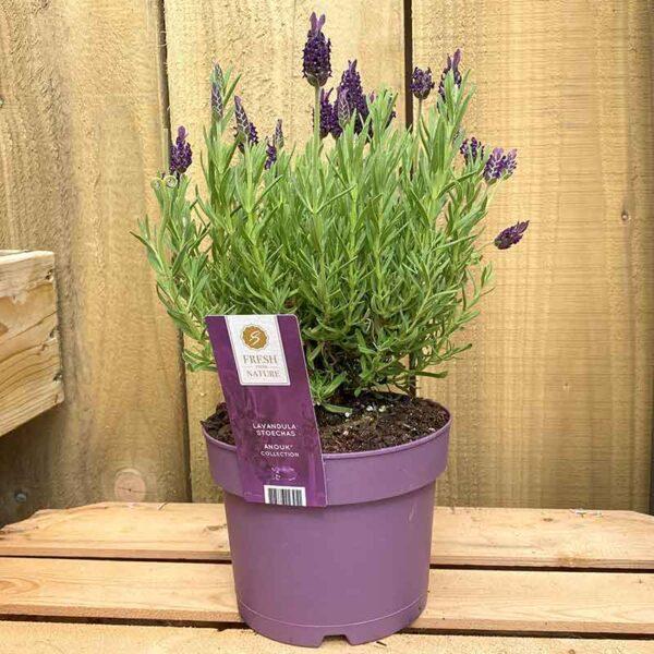 17cm pot of Lavandula stoechas Anouk French Lavender