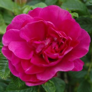 Roseraie De L'Hay Rose