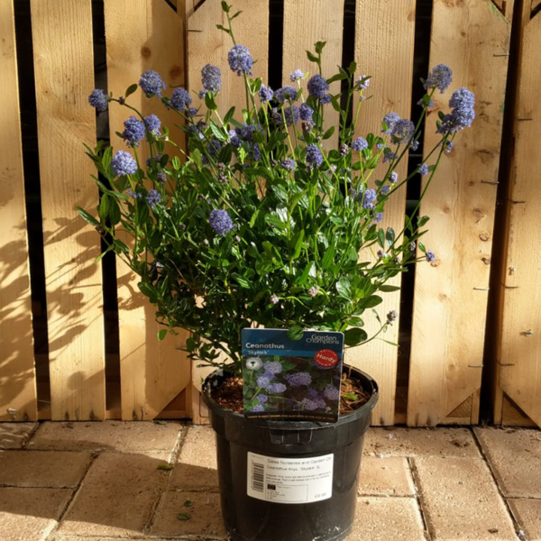 Ceanothus 'Skylark' (3 litre pot)