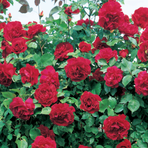 Étoile De Hollande Climbing Rose 6 litre pot & cane frame (Images courtesy of David Austin Roses)