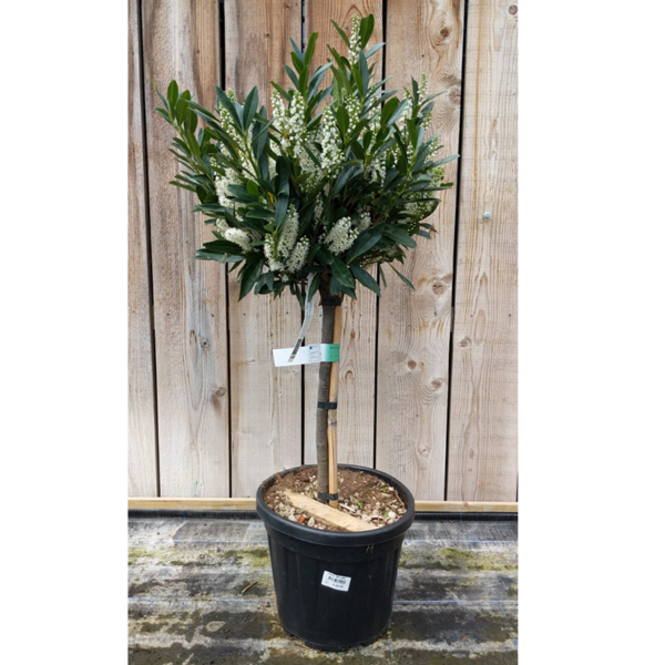 Prunus laurocerasus 'Otto Luyken' (12 litre pot)