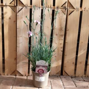 Dianthus Cottage Pink 'Cherry Daiquiri'
