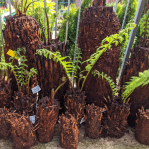 Dicksonia antarctica Tree Ferns at Gates Garden Centre