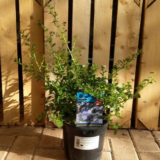 Ceanothus 'Blue Mound' (3 litre pot)