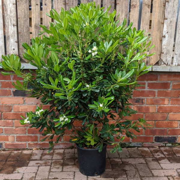 Pittosporum tobira (9.5 litre pot) 100cm