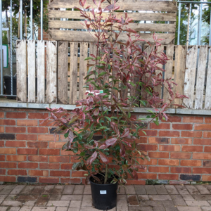 Photinia fraseri 'Pink Marble' (10 litre pot)