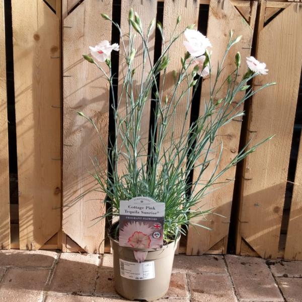 Dianthus Cottage Pink 'Tequila Sunrise'