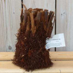Dicksonia antarctica Tree Fern 0.5ft