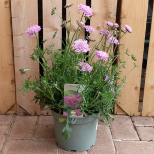 Scabiosa columbaria 'Pink Mist' (3 litre pot)
