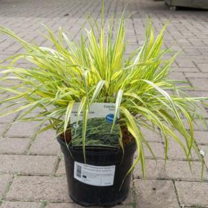 Hakonechloa macra 'Aureola' (3 litre pot)