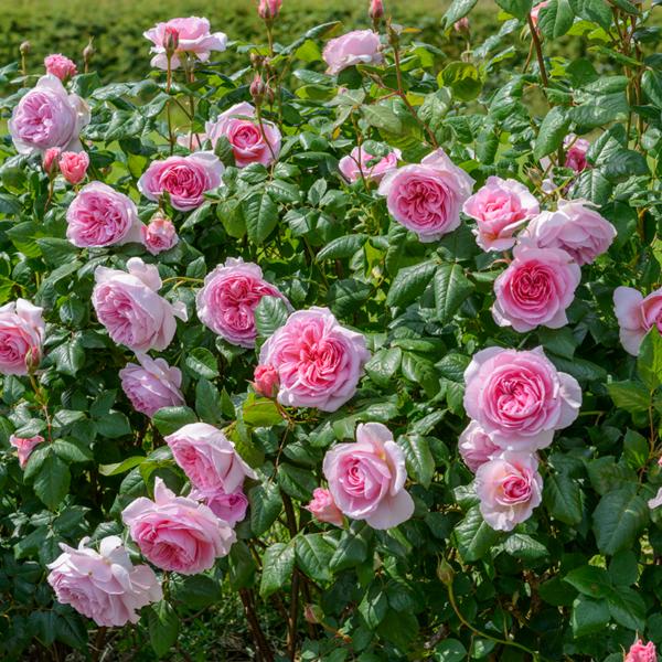 David Austin The Ancient Mariner (Ausoutcry) English Shrub Rose in bloom (Images courtesy of David Austin Roses)
