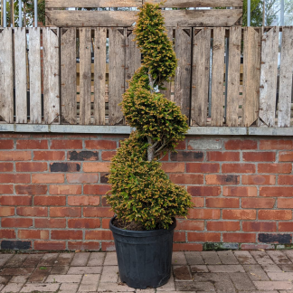 Taxus baccata 'Spiral' Yew 100 -120cm (25 litre pot)