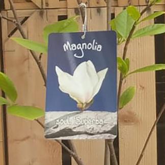 Magnolia 'Superba'