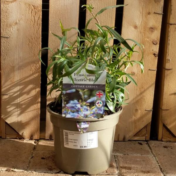 Penstemon heterophyllus 'Electric Blue' (2 litre pot)