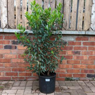 Prunus lusitanica 'Angustifolia' 60-80cm tall (10 litre pot)