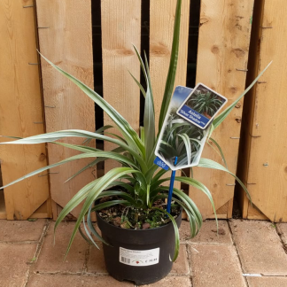 Astelia 'Silver Shadow' Silver Spear (2 litre pot)