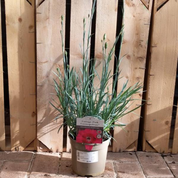 Dianthus Cottage Pink 'Cosmopolitan'