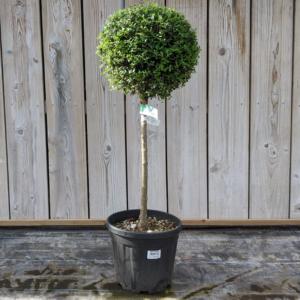 Ligustrum jonandrum 80cm 1/4 standard privet (12 litre pot)