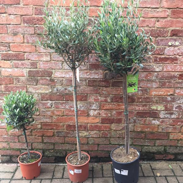 Olea europaea 'Alberello' Olive Tree (Quarter Standard, Half Standard & Standard)
