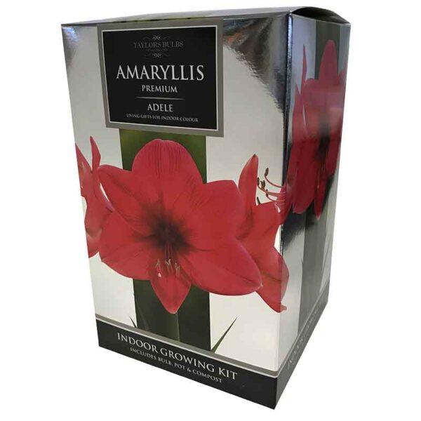 Amaryllis Premium 'Adele' (Hippeastrum) Indoor Growing Kit