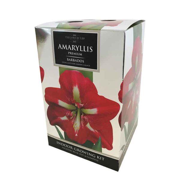 Amaryllis Premium 'Barbados' (Hippeastrum) Indoor Growing Kit