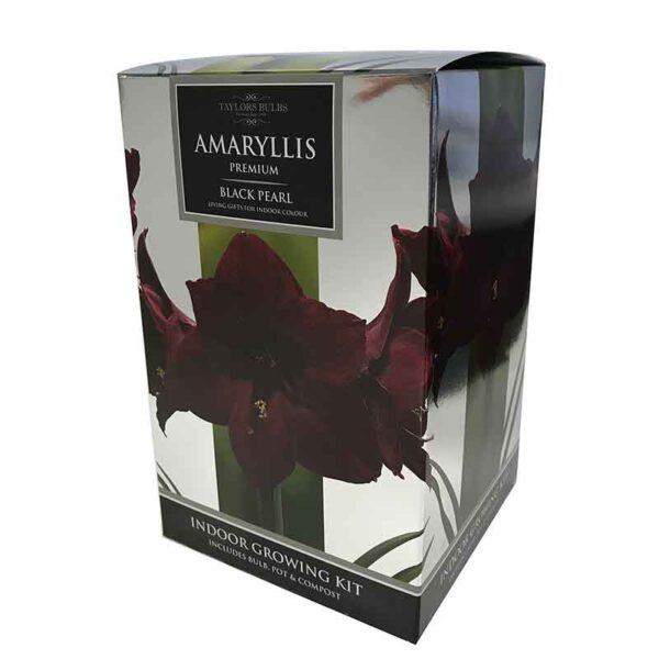 Amaryllis Premium 'Black Pearl' (Hippeastrum) Indoor Growing Kit