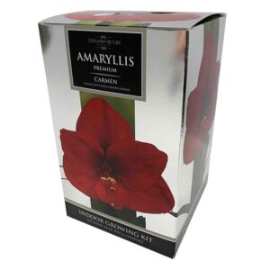 Amaryllis Premium 'Carmen' (Hippeastrum) Indoor Growing Kit