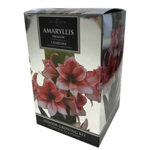 Amaryllis Premium 'Charisma' (Hippeastrum) Indoor Growing Kit