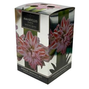 Amaryllis Premium 'Dancing Queen' (Hippeastrum) Indoor Growing Kit