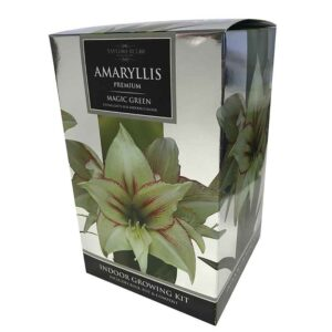 Amaryllis Premium 'Magic Green' (Hippeastrum) Indoor Growing Kit
