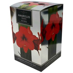 Amaryllis Premium 'Red Rival' (Hippeastrum) Indoor Growing Kit