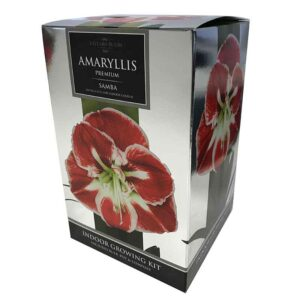 Amaryllis Premium 'Samba' (Hippeastrum) Indoor Growing Kit