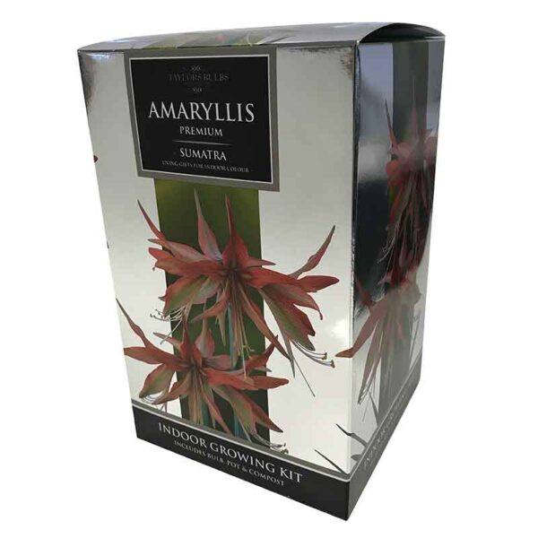 Amaryllis Premium 'Sumatra' (Hippeastrum) Indoor Growing Kit