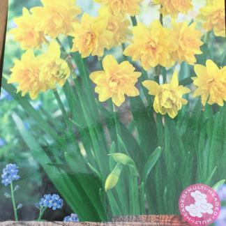 Narcissus cyclamineus 'Bouclé Tête-à-tête' (Double Daffodil)