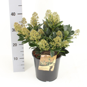 Skimmia japonica 'Fascination' (Gold Series) 19cm pot (Height: 45cm)