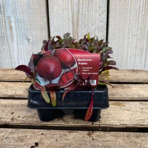 Beetroot Plant Pablo 12 Pot