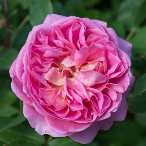 David Austin Boscobel® (Auscousin) English Shrub Rose (Images courtesy of David Austin Roses)