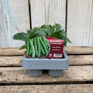 Broad Bean Plant Dreadnought 12 Pack