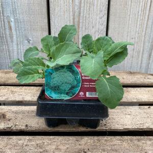 Broccoli Plant Green Magic 12 Pack