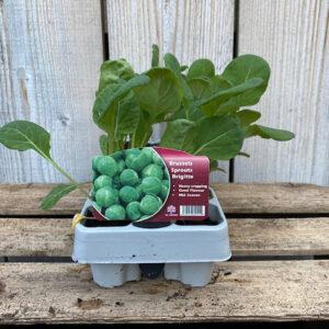 Brussel Sprouts Plant Brigitte 12 Pack