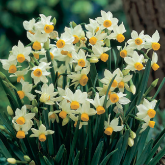 Narcissus 'Canaliculatus' (Tazetta Daffodil)