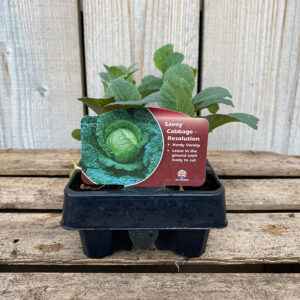 Cabbage Plant Savoy Serpentine 12 Pack