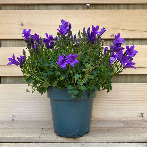 Campanula Ambella Intens purple