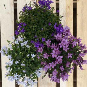 Campanula Ambella (Pink, Purple or White)