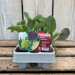 Cauliflower Plant - Mixed Selection (12 Pack)
