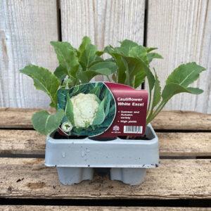 Cauliflower Plant White Excel 12 Pack
