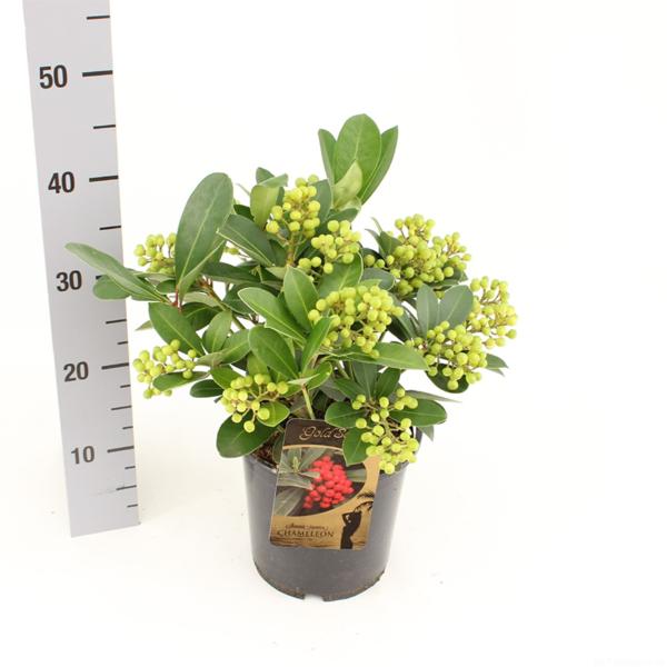 Skimmia japonica 'Chameleon' (Gold Series) 19cm pot, H: 45cm