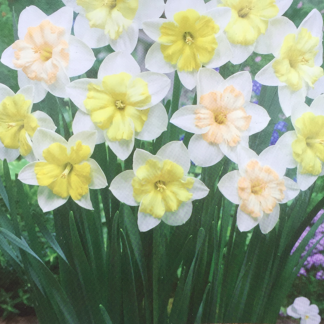 Narcissus 'Changing Colours' (Butterfly Daffodil)