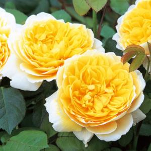 David Austin Roses Charlotte 6L Shrub Rose